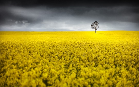 Rainfall in Australia will dramatically increase the sowing area and gross yield of rapeseeds in the new season