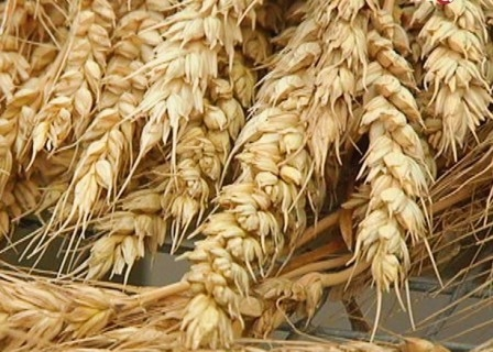 After a speculative jump in prices of wheat fell to