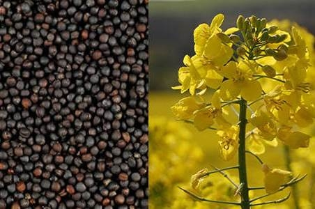 The price of rapeseed continues to grow in Europe and in Ukraine