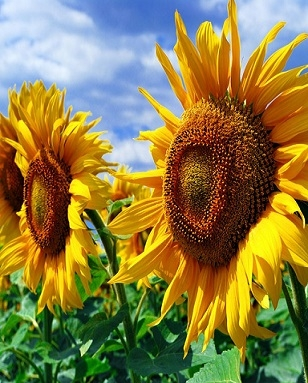 World sunflower production in the new season will grow by 7%