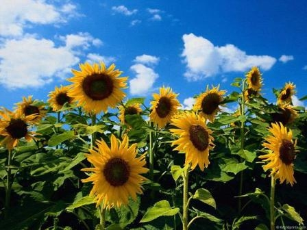 The demand continues to put pressure on the prices for sunflower
