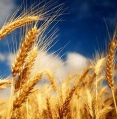 A bearish USDA report lowered wheat prices