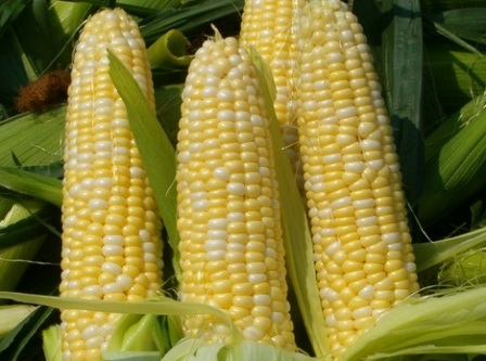The corn market continues to fall