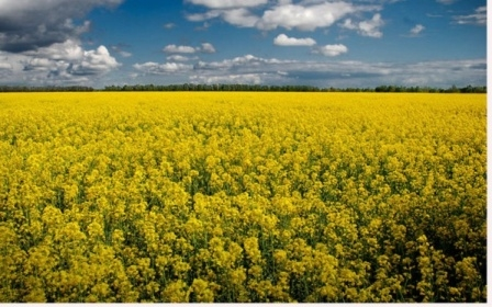 Prices for rapeseed growing due to low yield