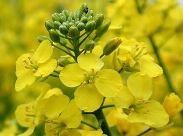 Prices for rapeseed of the new harvest will be formed in may