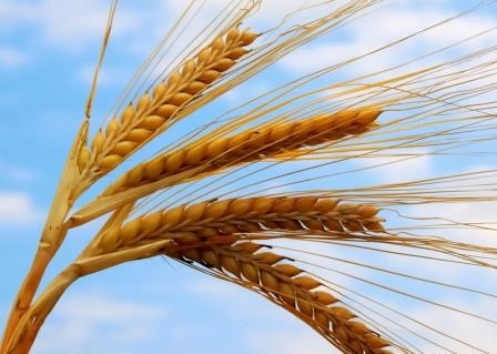 Wheat in the United States supported the speculators and the devaluation of the dollar