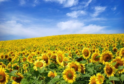 For harvest 2016, in Ukraine sunflower seed will sow a record number of squares