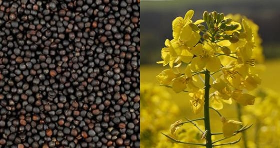 In the season 2016/17 MG global rapeseed production will decrease