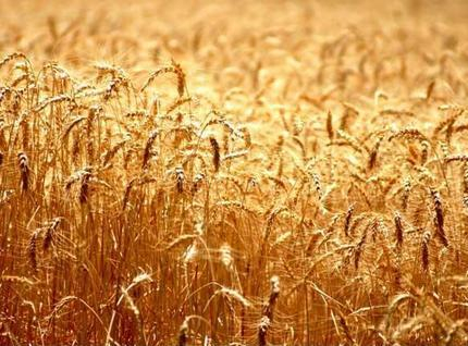 Wheat prices declined ahead of USDA report
