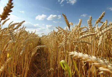 Wheat prices are rising because of the hot and dry weather