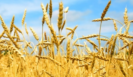 FAO expects a decline in world wheat production in 2017/18 MG