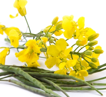 Canada, the EU and Ukraine will increase rapeseed production