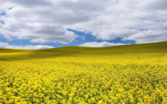 The price of rapeseed under uncertainty due to the yields in EU