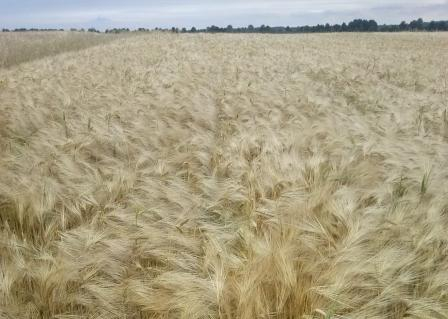 Barley is expensive due to high demand
