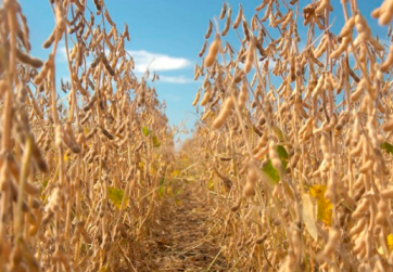 Prices for soybeans in Chicago dropped to a new low