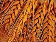 Dry weather raises the price of wheat in the United States