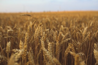 Wheat prices are rising again under the lower forecast production in the EU