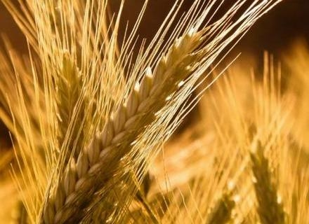 Traders forced to reduce prices of wheat