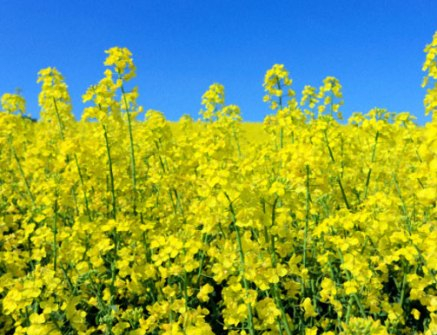 The price of canola drops following soybeans