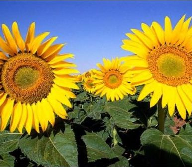 Sunflower prices decline after the price of oil