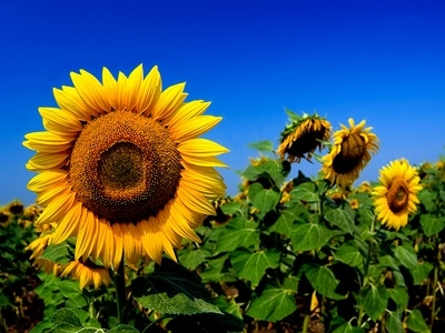 The rise in price of oil led to higher prices of sunflower