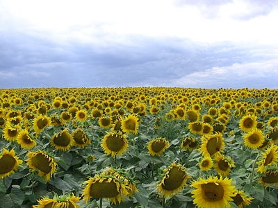 The USDA increased the forecast of Ukrainian sunflower crop
