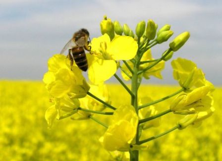The price of rapeseed has dropped the prices of oilseeds
