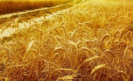 COCERAL lowered the forecast of grain harvest for the EU to 293 million tons