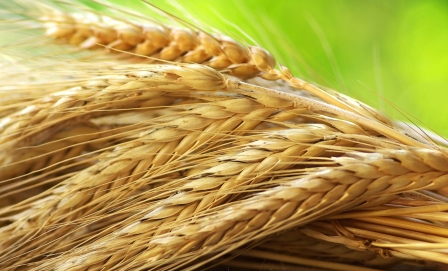 Wheat prices continued to fall