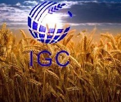 IGC has sharply reduced the forecast of world wheat production