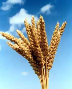 Better weather lowers wheat prices