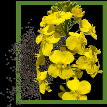 The price of rapeseed is growing despite the increase in production362 x 364 png 147kB