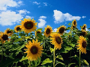 Sunflower prices are rising, but the factors of support have been exhausted