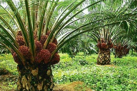 The price of palm oil fell sharply