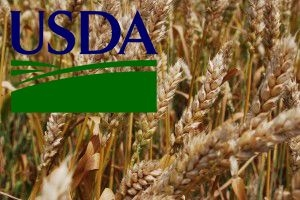 USDA contrary to expectations of experts increased the estimate of world wheat stocks
