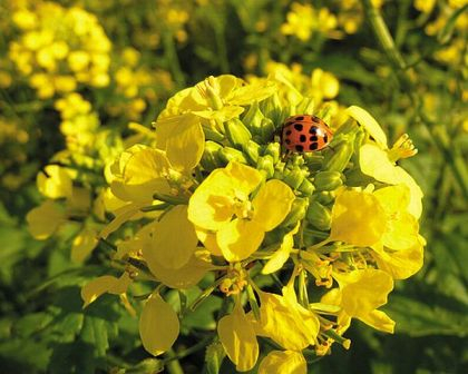 The increase in forecast rapeseed production puts pressure on prices