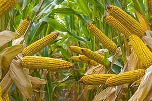 Pro Farmer confirmed the forecast of a record corn harvest in the USA