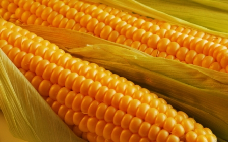 Experts have significantly reduced the forecast of the corn harvest in Ukraine