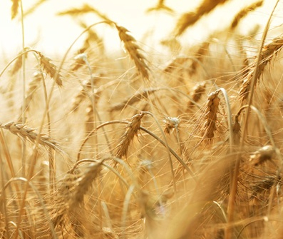 Stock prices for wheat grow, however physical market is stable