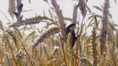 Egypt has not yet confirmed the rejection of Romanian and Russian wheat