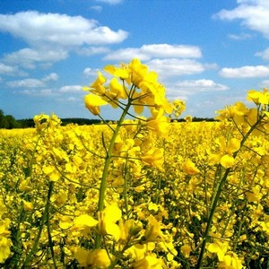 Germany has joined France increased the forecast of rapeseed crop