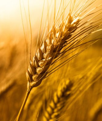 Global wheat prices are falling, but are rising