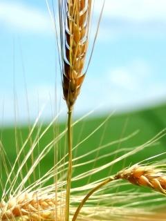 The grain market is under the influence of reports on crops in the U.S. and Canada
