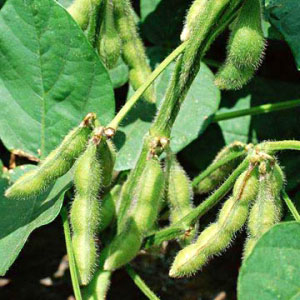 The price of soybeans continued to rise