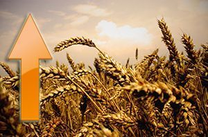 The increase in the market price of wheat continues