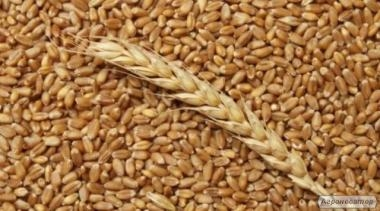 Wheat in Chicago falls under pressure from neighboring markets