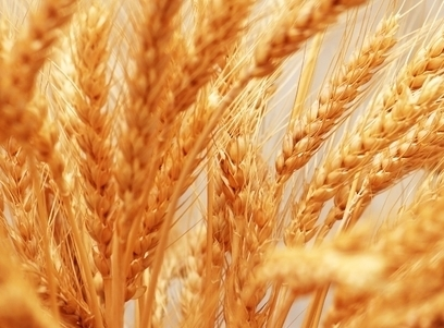 Wheat in the EU continues to rise and in the US is cheaper