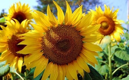 Ukraine harvested a record harvest of sunflower and soy