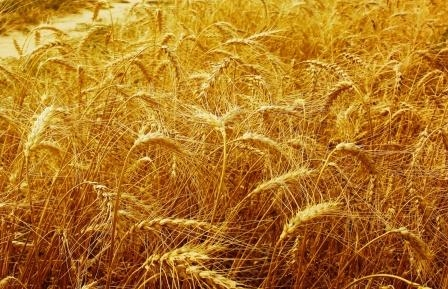 Wheat prices continue to rise