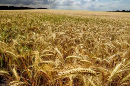 Hopes for the growth of world trade volume of wheat has revived the markets